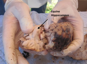 Dr. Steve Peters dissects horse brain and points out hippocampus.