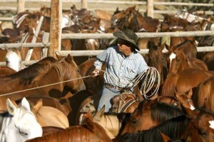Head wrangler, Paul Scherf, selects a horse