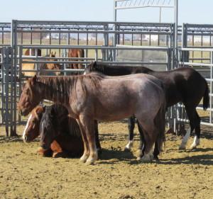 Horses at the BLM's Delta facility