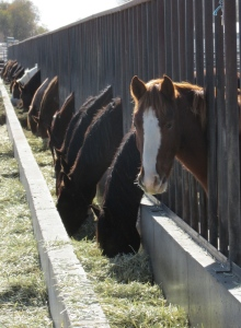 Horses at the BLM's Delta, UT facility.