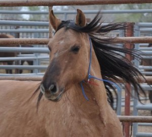 Sulphur mare up for auction