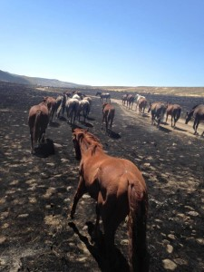 Horses in the Soda fire aftermath