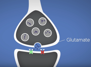 The neurochemical glutamate enables synapse between neurons