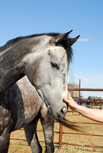 touching-dappled-grey-horse-4825575
